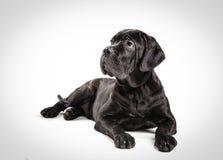 Filhote de cachorro de Corso do bastão em um fundo branco Foto de Stock