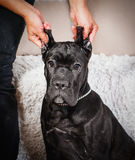 Filhote de cachorro de Corso do bastão em um fundo branco Imagens de Stock