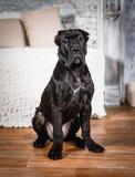 Filhote de cachorro de Corso do bastão em um fundo branco Fotografia de Stock