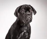 Filhote de cachorro de Corso do bastão em um fundo branco Fotos de Stock Royalty Free