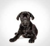 Filhote de cachorro de Corso do bastão em um fundo branco Imagem de Stock Royalty Free
