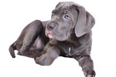 Filhote de cachorro de Corso do bastão em um fundo branco imagens de stock royalty free
