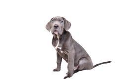 Filhote de cachorro de Corso do bastão em um fundo branco foto de stock royalty free