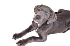 Filhote de cachorro de Corso do bastão em um fundo branco fotografia de stock royalty free