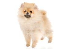 Filhote de cachorro de creme de Pomeranian no fundo branco imagem de stock royalty free