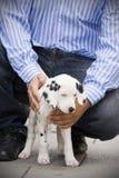 Filhote de cachorro de Dalmation Imagem de Stock Royalty Free