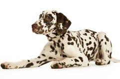 Filhote de cachorro de Dalmation Foto de Stock