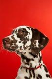 Filhote de cachorro de Dalmation com um colar vermelho Imagens de Stock Royalty Free