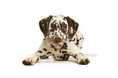 Filhote de cachorro de Dalmation com um colar vermelho Foto de Stock