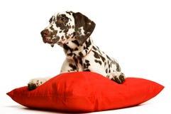Filhote de cachorro de Dalmation com um colar vermelho Foto de Stock Royalty Free