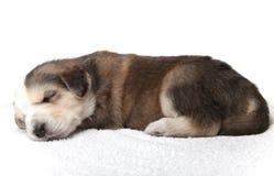 Filhote de cachorro de descanso pequeno foto de stock