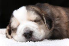 Filhote de cachorro de descanso pequeno Fotos de Stock Royalty Free