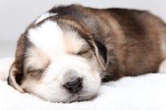 Filhote de cachorro de descanso pequeno Foto de Stock Royalty Free