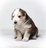 Filhote de cachorro de descanso pequeno Imagens de Stock Royalty Free