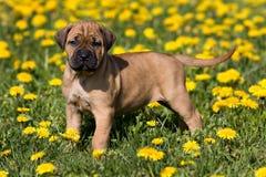 Filhote de cachorro de Dogo Canario Fotografia de Stock