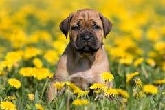Filhote de cachorro de Dogo Canario Foto de Stock Royalty Free