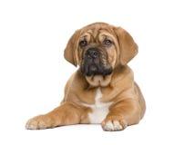Filhote de cachorro de Dogue de Bordéus (2 meses) Imagem de Stock Royalty Free