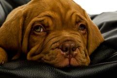 Filhote de cachorro de Dogue De Bordéus Fotos de Stock Royalty Free