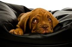 Filhote de cachorro de Dogue De Bordéus Foto de Stock Royalty Free
