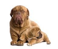 Filhote de cachorro de Dogue de Bordéus (2 meses) Fotos de Stock