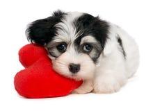 Filhote de cachorro de Havanese do Valentim do amante Foto de Stock