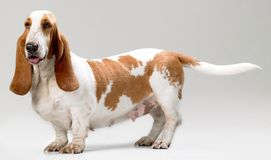 Filhote de cachorro de Hush Fotos de Stock Royalty Free
