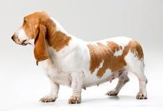 Filhote de cachorro de Hush Fotografia de Stock