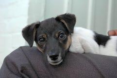 Filhote de cachorro de Jack Russel Terrier no regaço Imagens de Stock Royalty Free