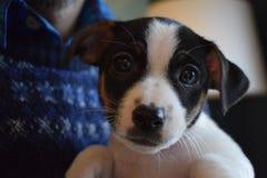 Filhote de cachorro de Jack Russell Fotos de Stock Royalty Free