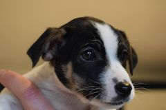 Filhote de cachorro de Jack Russell Foto de Stock Royalty Free