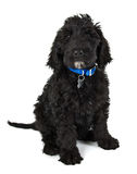 Filhote de cachorro de Labradoodle Imagem de Stock