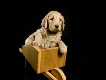 Filhote de cachorro de Labradoodle em um carrinho de mão Fotografia de Stock