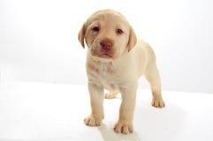 Filhote de cachorro de Labrador Imagens de Stock