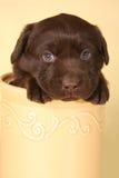 Filhote de cachorro de Labrador Fotos de Stock Royalty Free