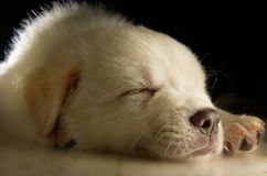 Filhote de cachorro de Labrador imagem de stock royalty free