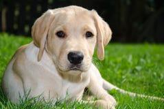Filhote de cachorro de Labrador fotografia de stock