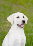 Filhote de cachorro de Labrador Imagens de Stock Royalty Free