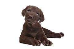 Filhote de cachorro de Labrador do chocolate Fotografia de Stock