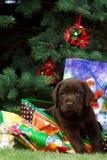 Filhote de cachorro de Labrador - presente imagem de stock