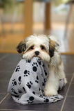Filhote de cachorro de Lhasa Apso Fotografia de Stock