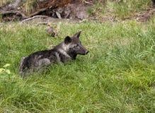 Filhote de cachorro de lobo preto Foto de Stock Royalty Free