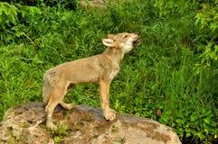 Filhote de cachorro de lobo que urra a seus irmãos Fotografia de Stock