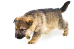 Filhote de cachorro de passeio isolado no fundo branco Fotos de Stock