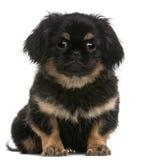 Filhote de cachorro de Pekingese, 4 meses velho, sentando-se fotografia de stock royalty free