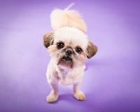 Filhote de cachorro de Pekingese Imagens de Stock Royalty Free