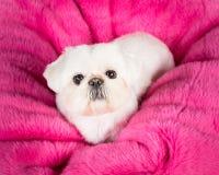 Filhote de cachorro de Pekingese Imagens de Stock