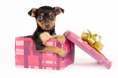 Filhote de cachorro de Pincher em uma caixa de presente do Natal. Imagens de Stock Royalty Free