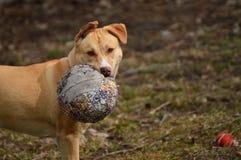 Filhote de cachorro de Pitbull foto de stock