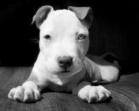 Filhote de cachorro de Pitbull branco e marrom Imagens de Stock