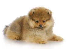 Filhote de cachorro de Pomeranian Imagem de Stock Royalty Free